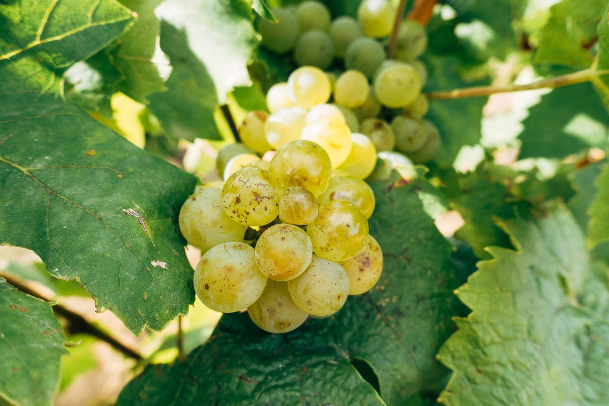 Qué es la uva Chardonnay