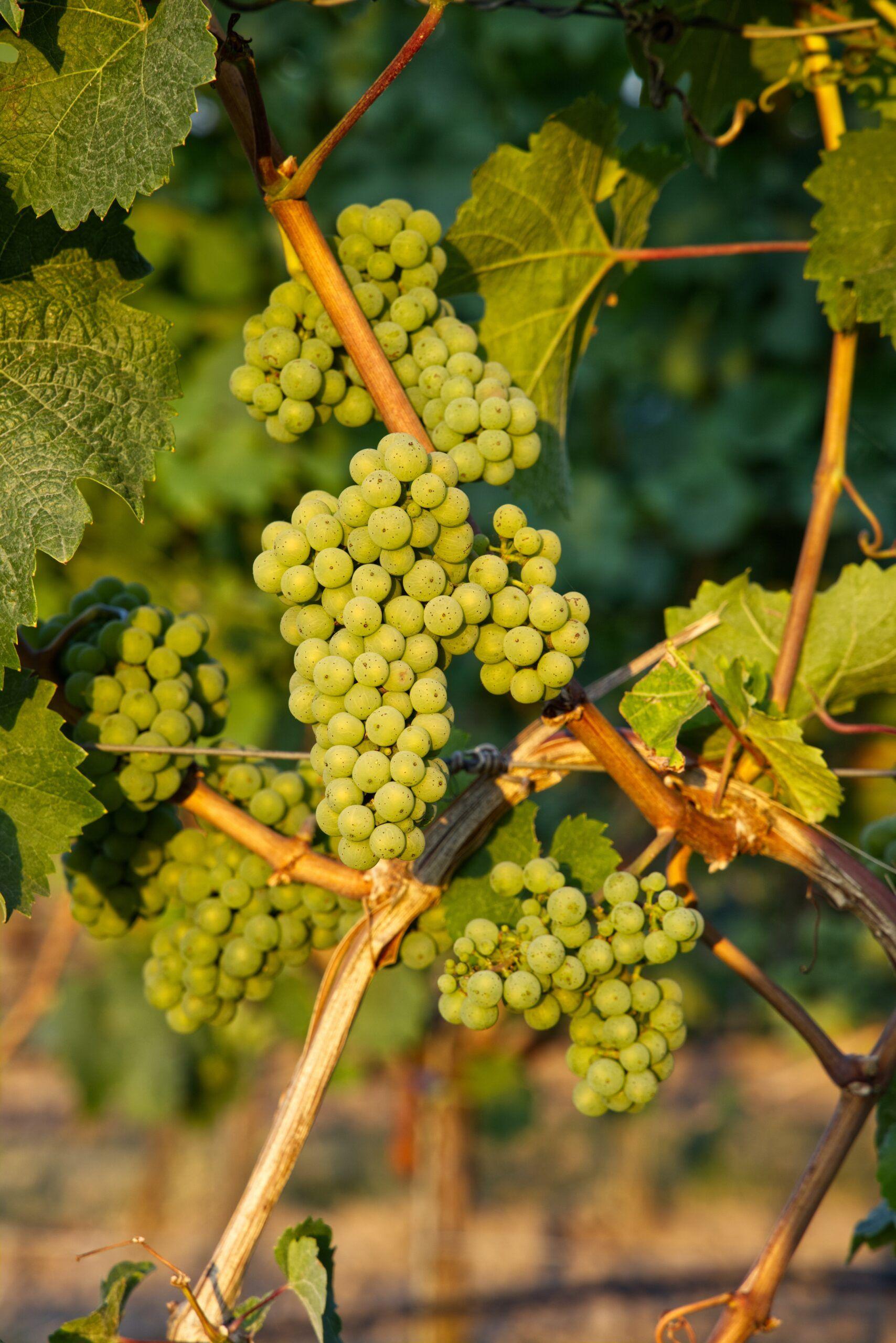 Tipos de uvas blancas