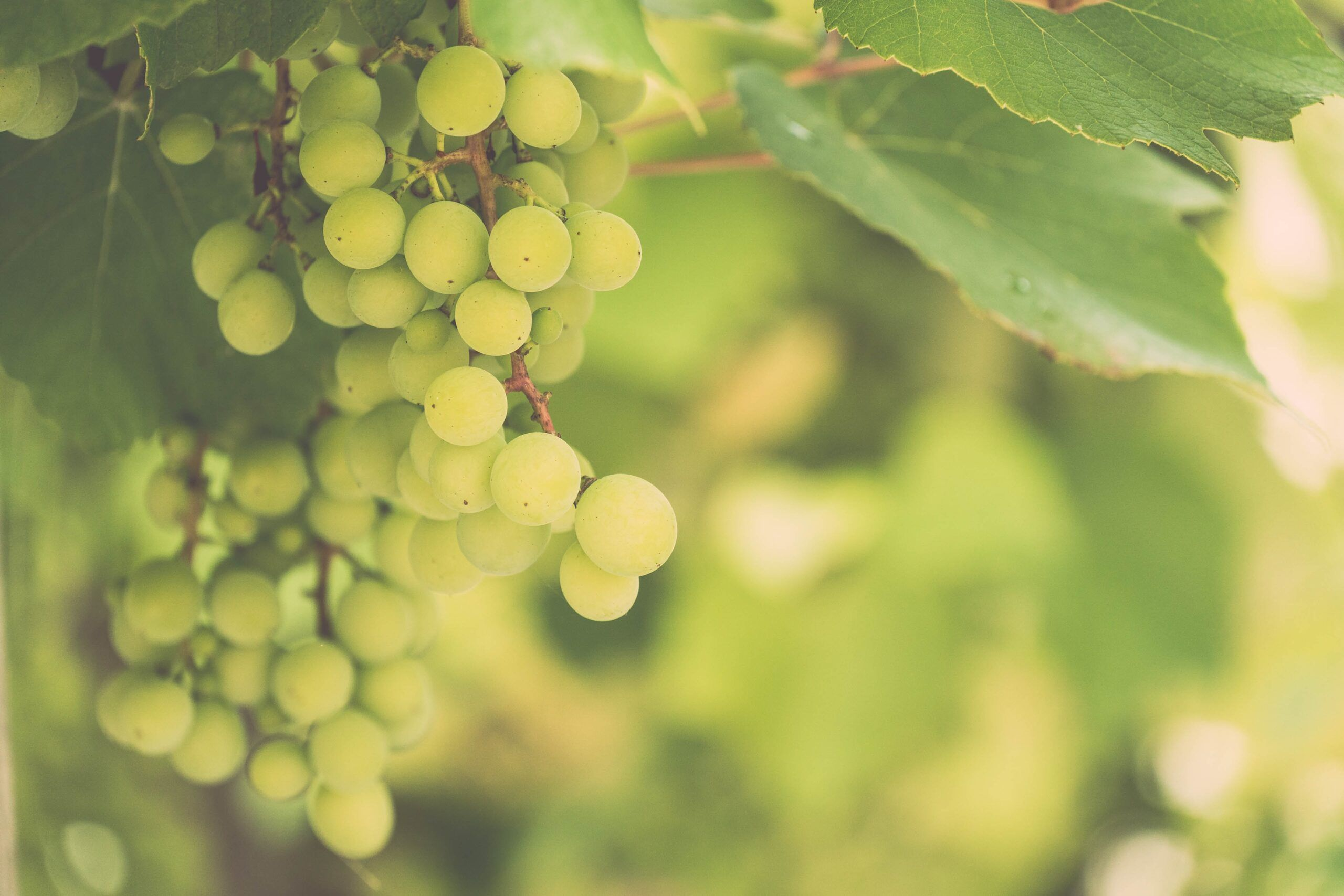 Caracteristicas uva chardonnay