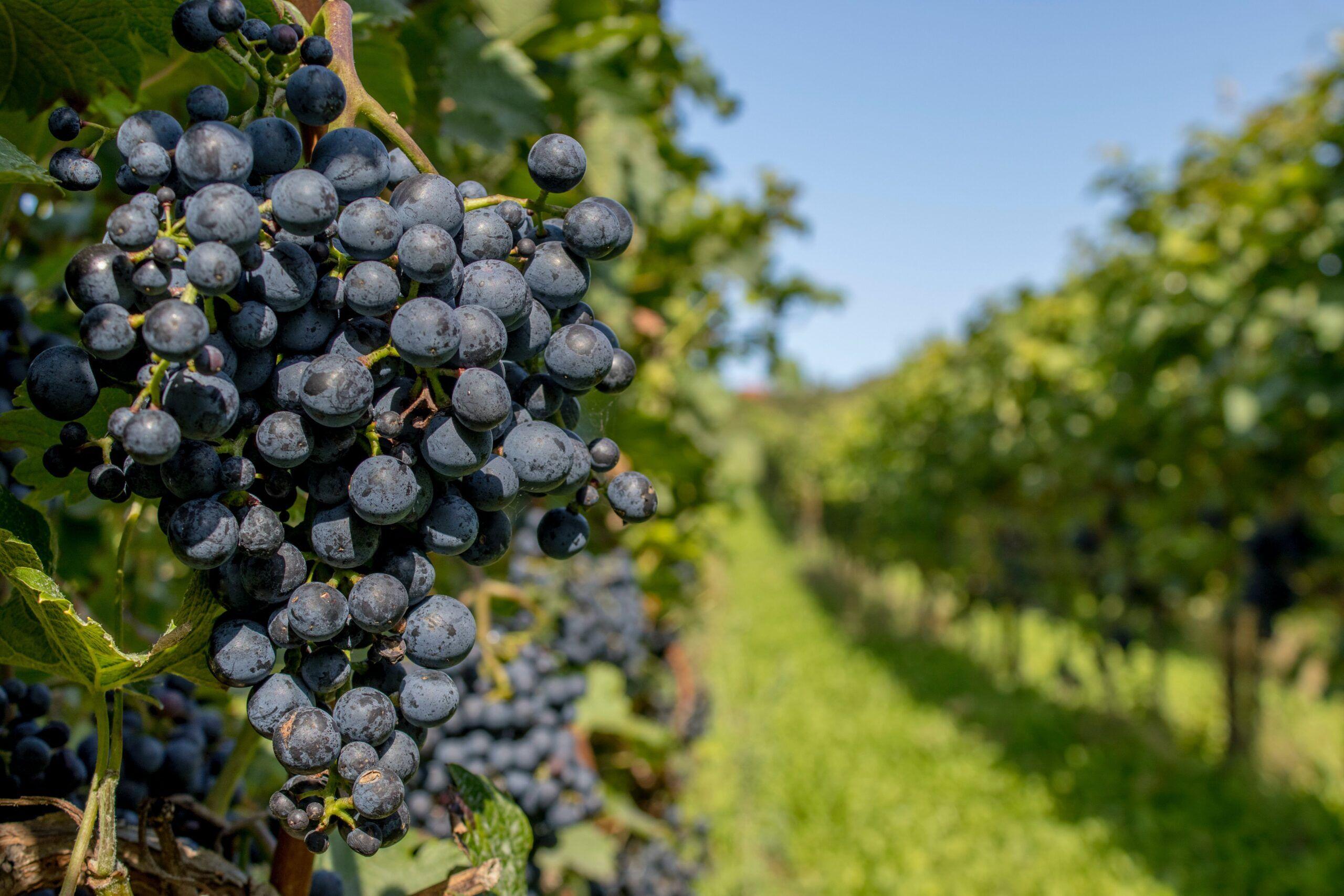 Qué es la uva Garnacha