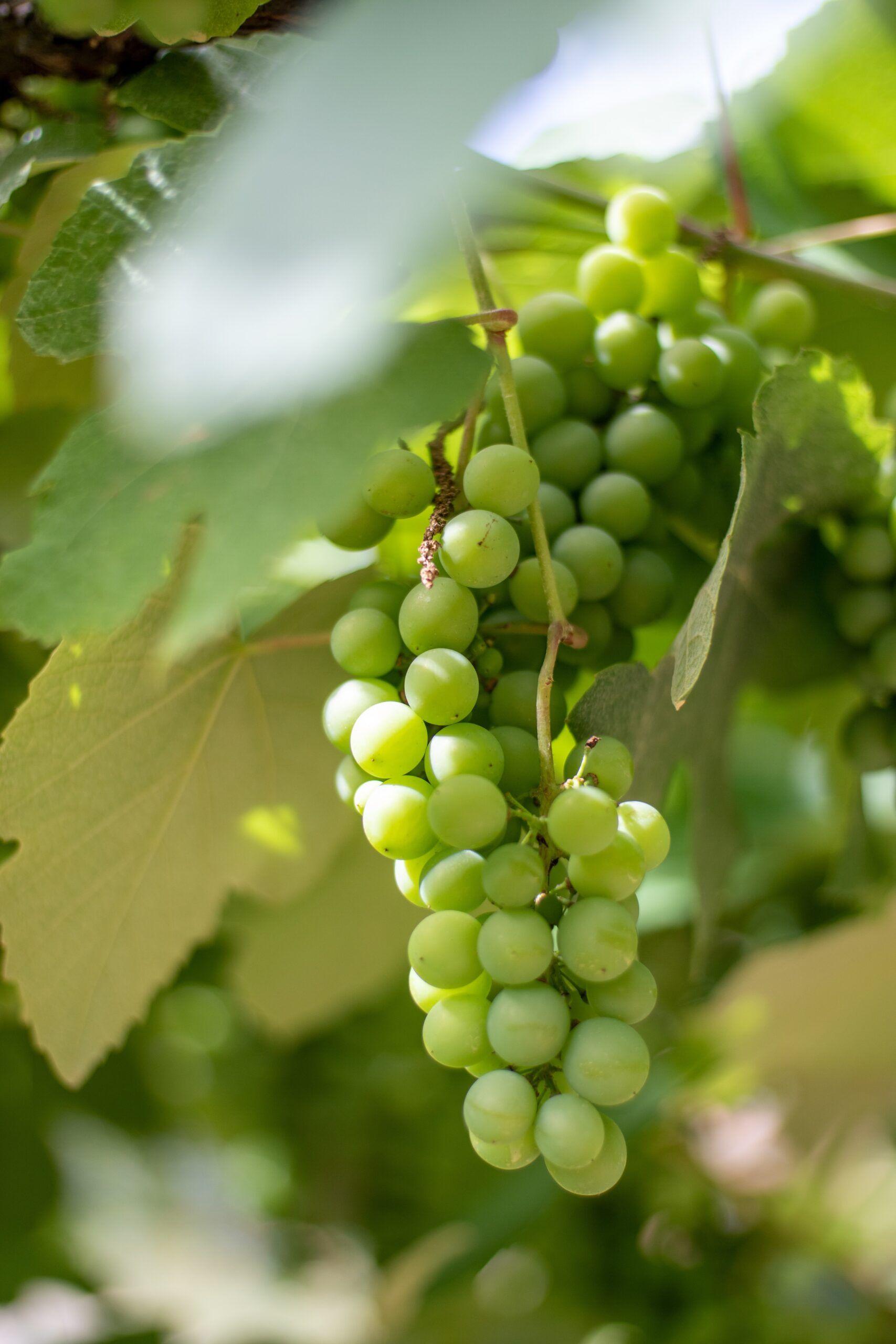 caracteristicas uva viura