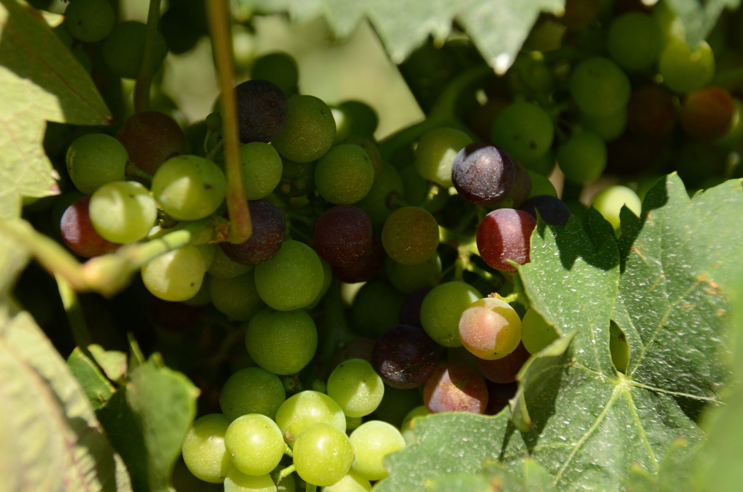 La vendimia en La Rioja